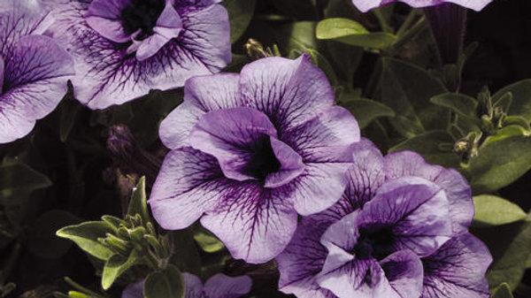 Petunia Supertunia 'Pricilla'