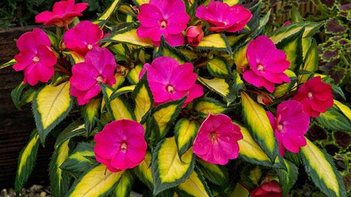 Sunpatiens Compact 'Tropical Rose'