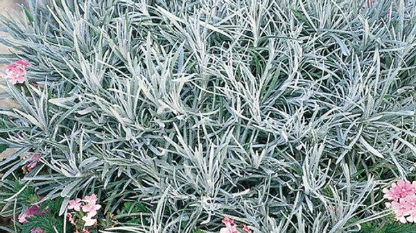 Helichrysum Thianschanicum 'Icicles'