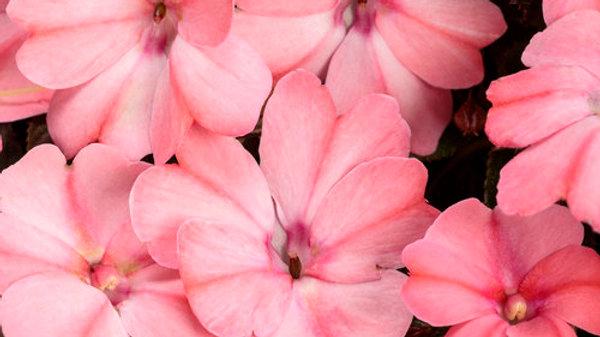 Sunpatiens Compact 'Blush Pink'