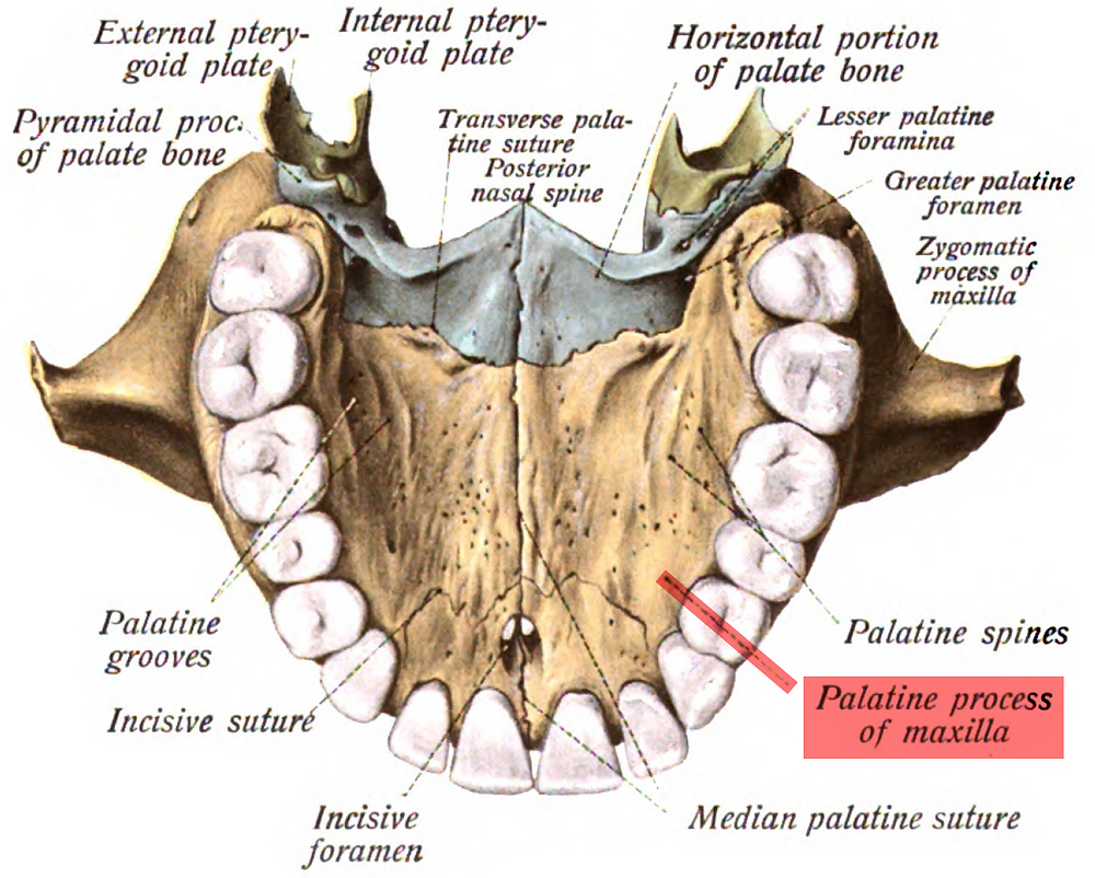 Palatine bones of the hard palate.