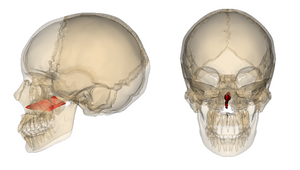CranioSacral Therapy Boulder, CranioSacralBoulder, InterOral CranioSacral Therapy, Vomer