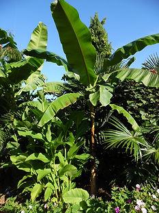 Bananier Mekong Giant