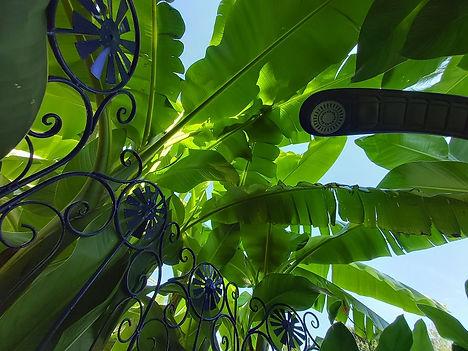 Musa basjoo x hybridum