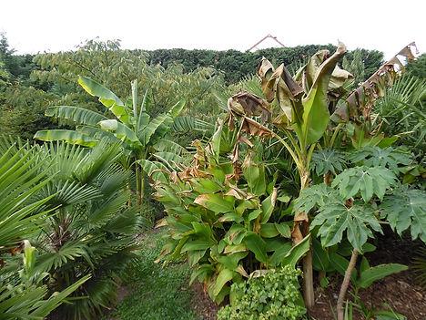 Freddi Banane et Sikkimensis