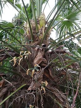 Fleur de Trachycarpus Fortunei en Alsace
