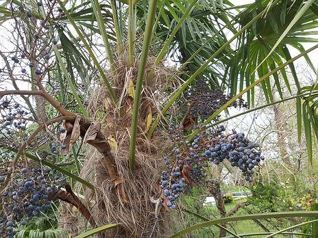 Fleur et fruits de Trachycarpus Fortunei en Alsace