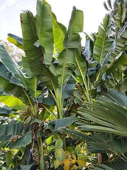 Musa sikkimensis 'Darjeeling Giant' et 'Manipur'