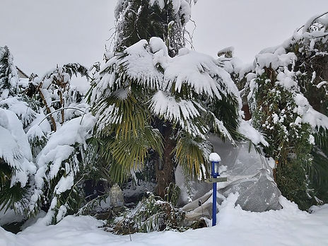Trachycarpus sous la neige