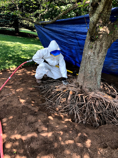 TREE Health Care: Remove Over-Mulching and Soil to Expose Root Flare