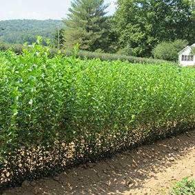 Privet Hedges