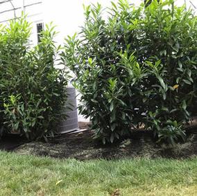 Cherry Laurel Hedge