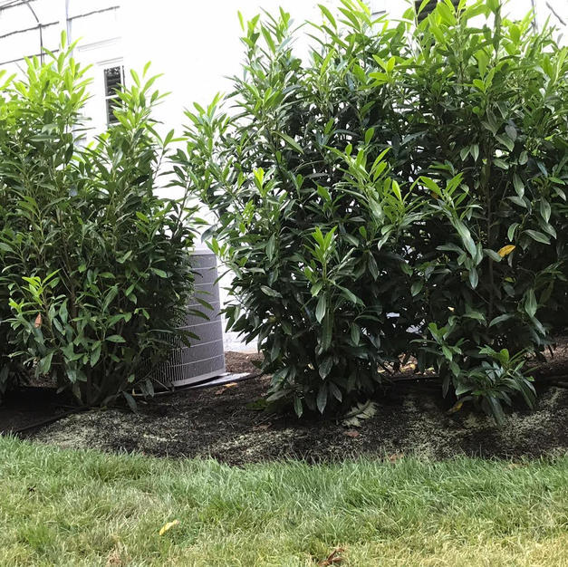 Cherry Laurel Hedge