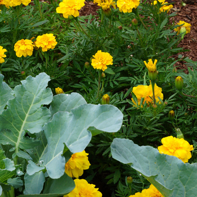 Natural Vegetable Garden Pest Control with Plantings