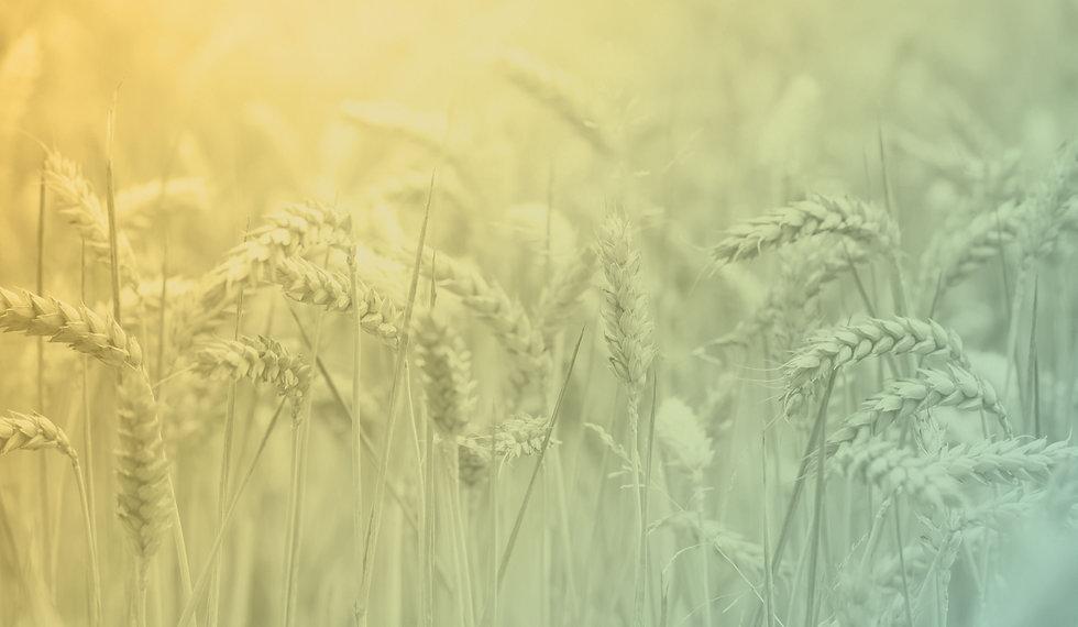 WheatBG.jpg