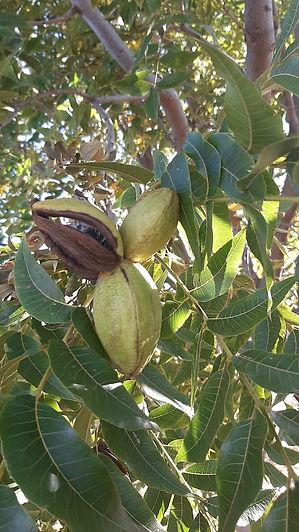 Harmony-Farm-Nuts-in-Tree.jpeg