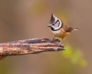 Crested Tit Cairngorms Birding