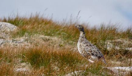 Ptarmigan, Cairngorms Birding