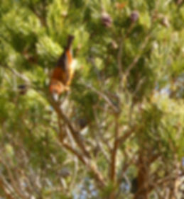 Parrot Crossbill, Cairngorms Birding