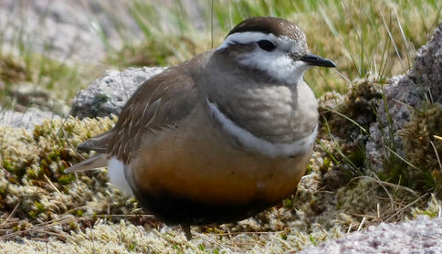 Dotterel on Cairngorm,Cairngorms Birding
