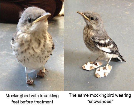mockingbird wearing snowshoe-like braces