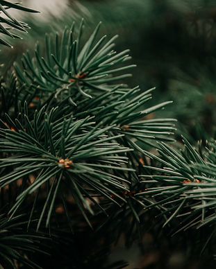 Evergreen_closeup.jpg