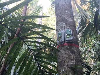 Trialling AudioMoth to detect the hidden threats under the canopies of Belize