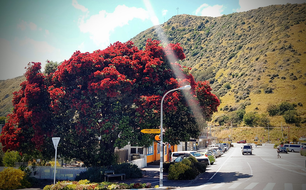 Pōhutukawa tree in full bloom a couple weeks ago