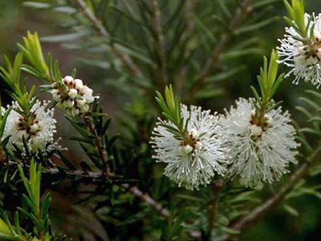 Árbol de Té: El mejor desinfectante natural es el aceite esencial Árbol de Té