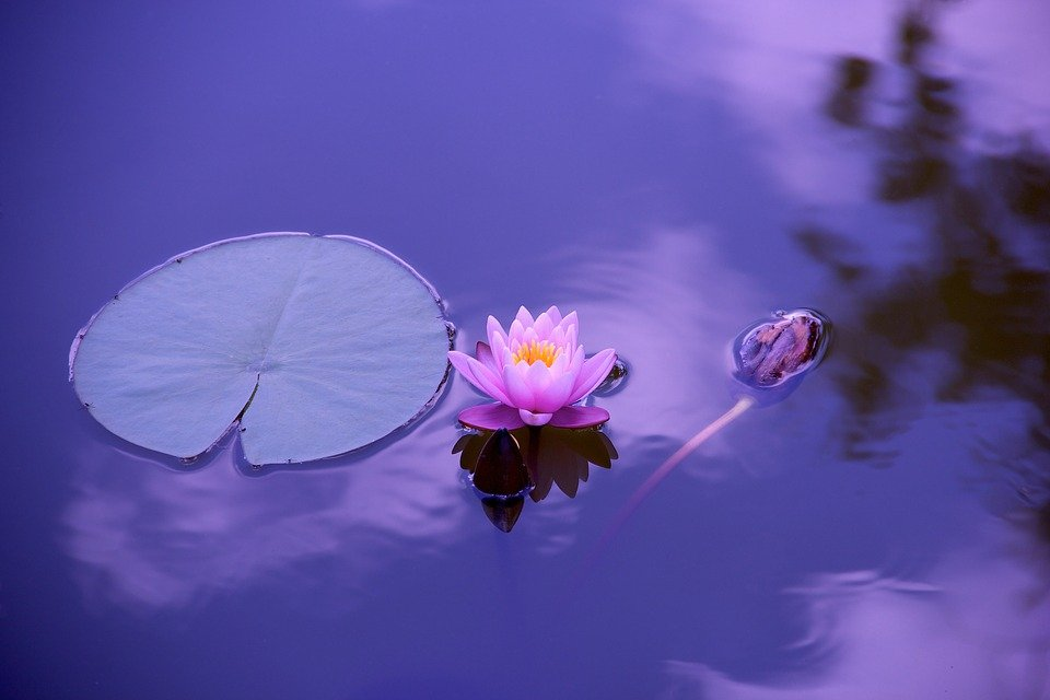 Lotus flower in a pond next to a leaf