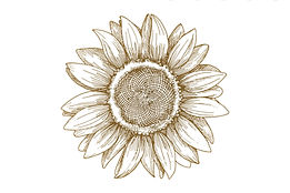 Sunflower sketch (no backgraound).jpg