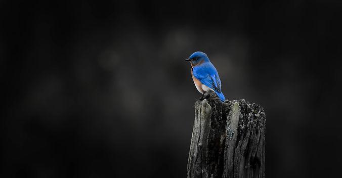 Blue Bird Edit.jpg