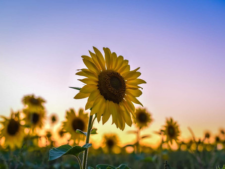 2020 Sunflower Fields are Coming to a Close for the Season