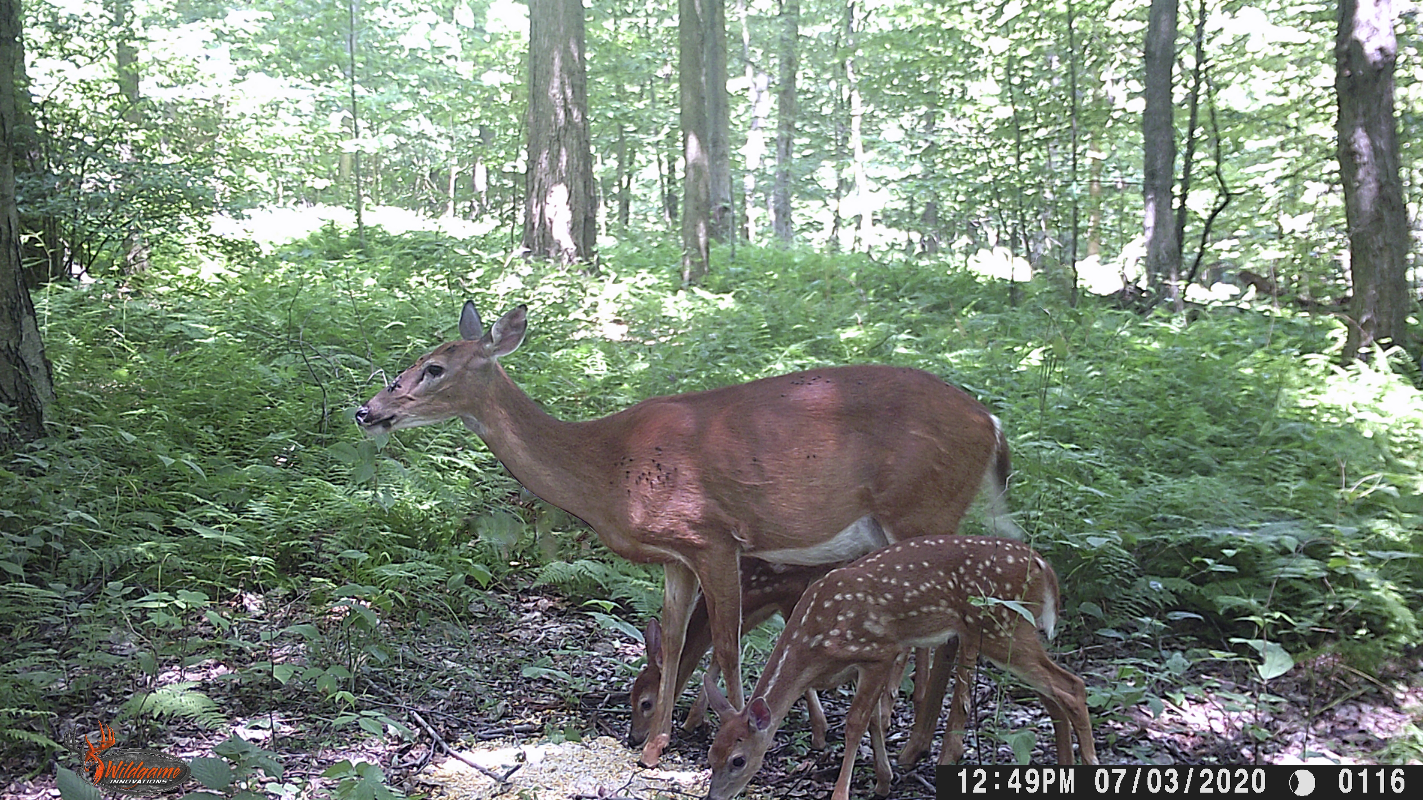 two fawn