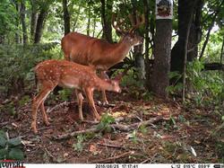 Buck and fawn.jpg