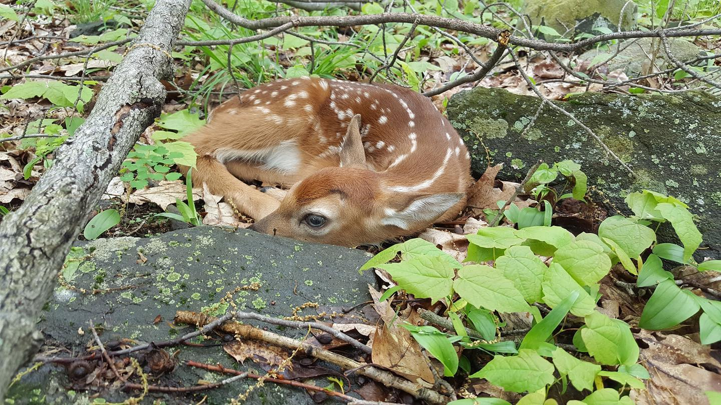 McConnell_Whitetail Fawn