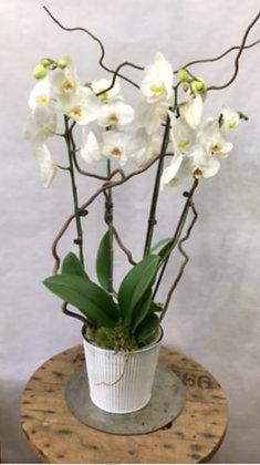 ORCHIDÉE PHALAENOPSIS 4 BRANCHES