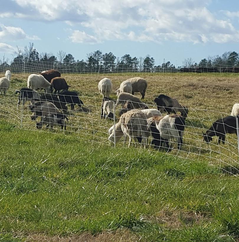 Rotational sheep grazing.jpg