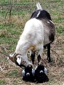 Valera doe with twins 2.jpg