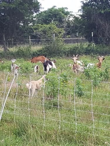grazing goats.jpg