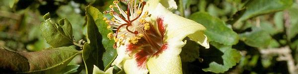 Philip Island Hibiscus
