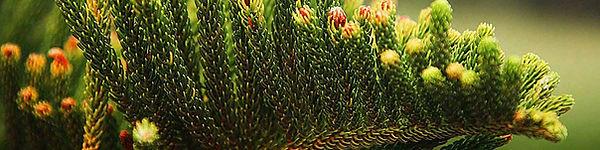 Norfolk Pine Needles close up