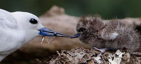 White Turn feeding her chick