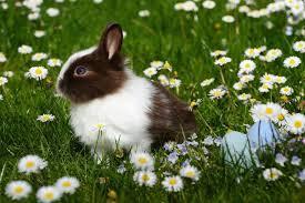Vaccination du lapin de compagnie
