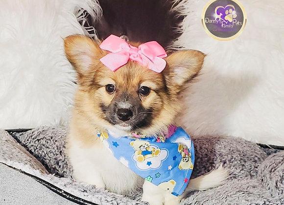 Sasha - Female | 10-Weeks Old | Maltipom