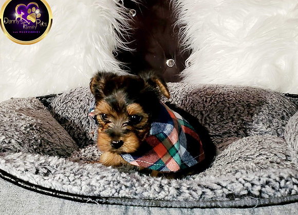 Austin - Male | 8-Weeks Old | Yorkshire Terrier