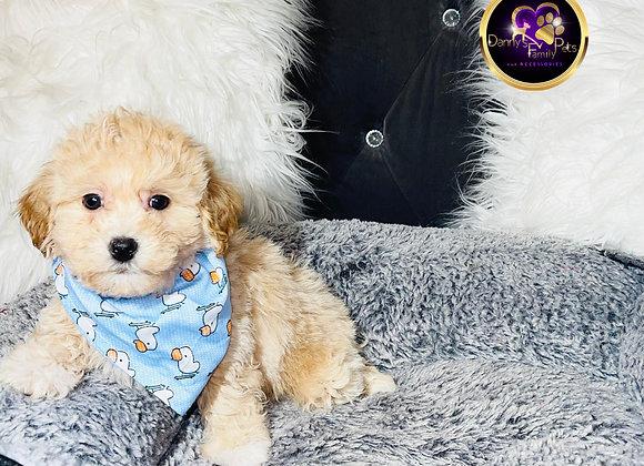 Seth - Male | 8-Weeks Old | Teddy Poo