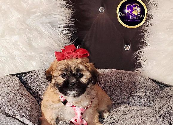 Hershey - Female | 8-Weeks Old | Shichon