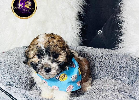 Micha - Male | 8-Weeks Old | Shichon
