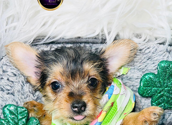 Rocky - Male | 8-Weeks Old | Yorkshire Terrier
